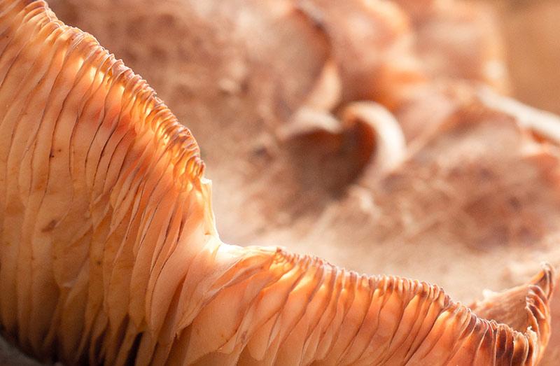 mushroom macro